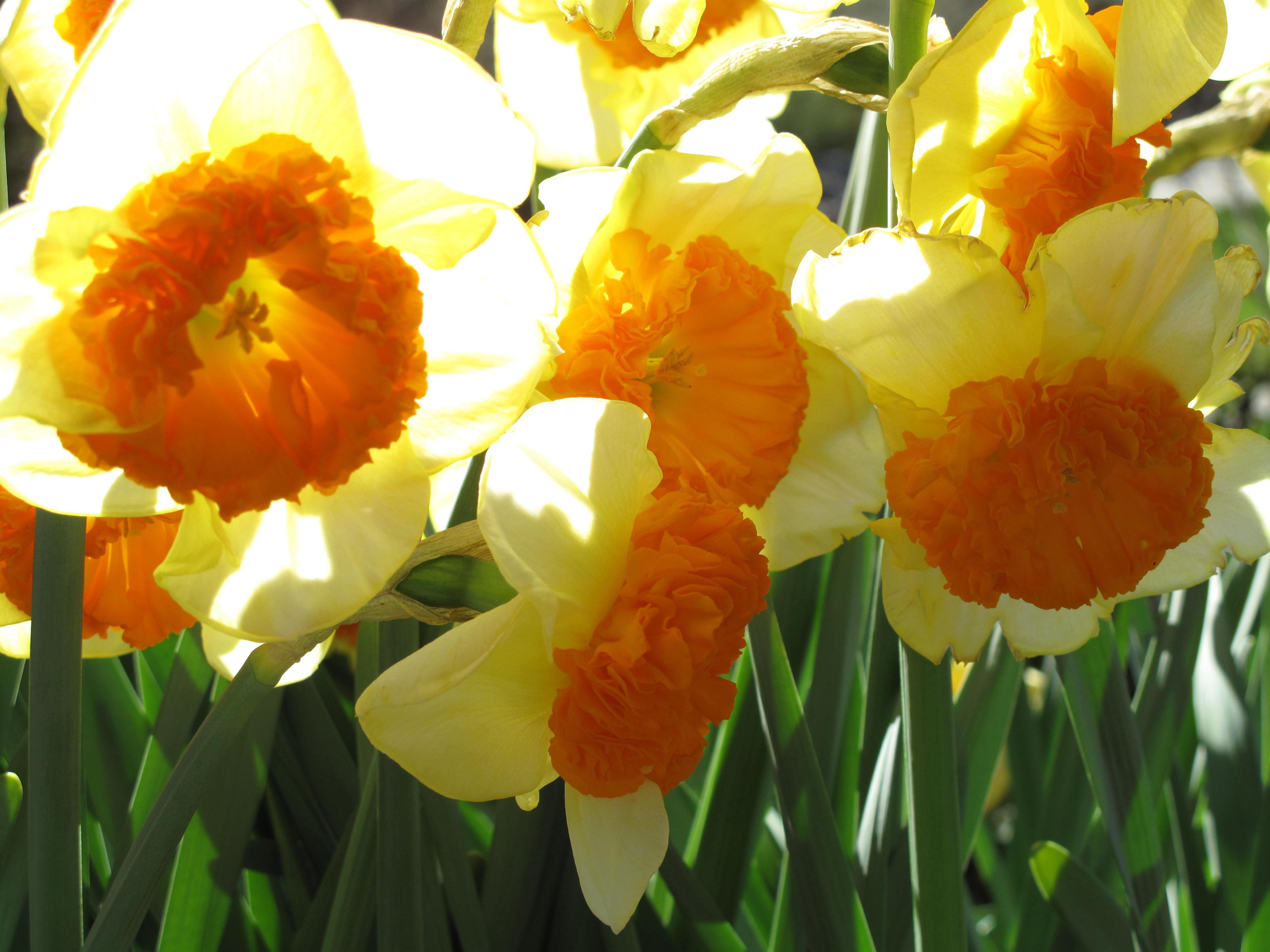 Yellow Daffodils Song Img