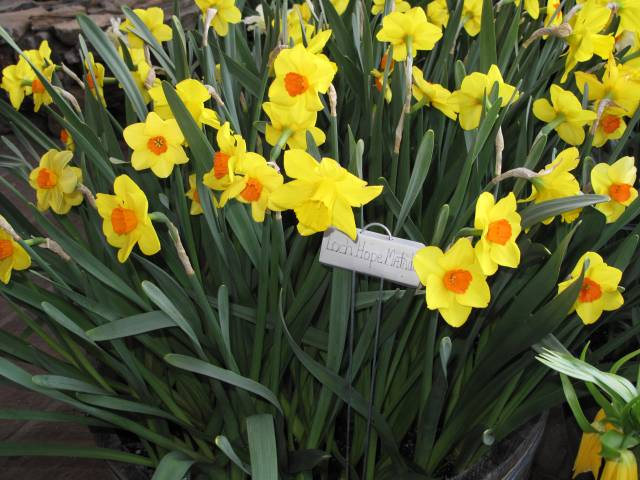 Differing Daffodils 171 Ceo A S Dhra 237 Ocht