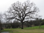 Oak tree, Ironstone Vineyards