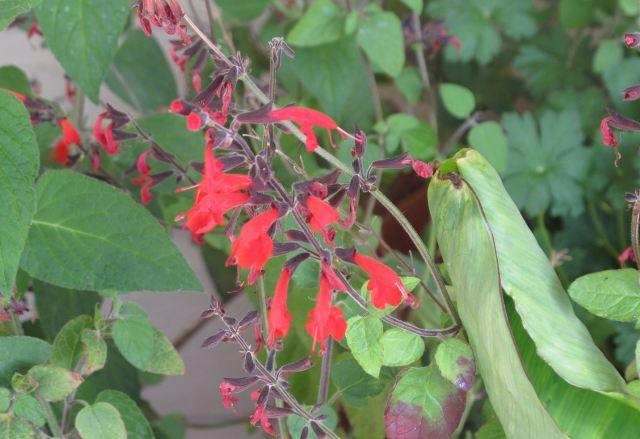 Texas Hummingbird Sage