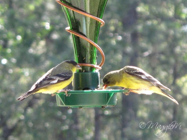 American Goldfinch-1