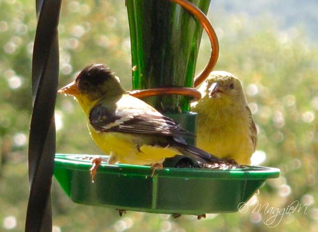 Lesser Goldfinch-1