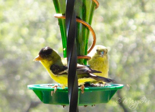 Lesser Goldfinch b-1