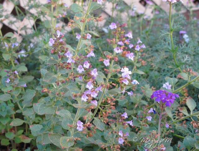 Calamint Marvellette b