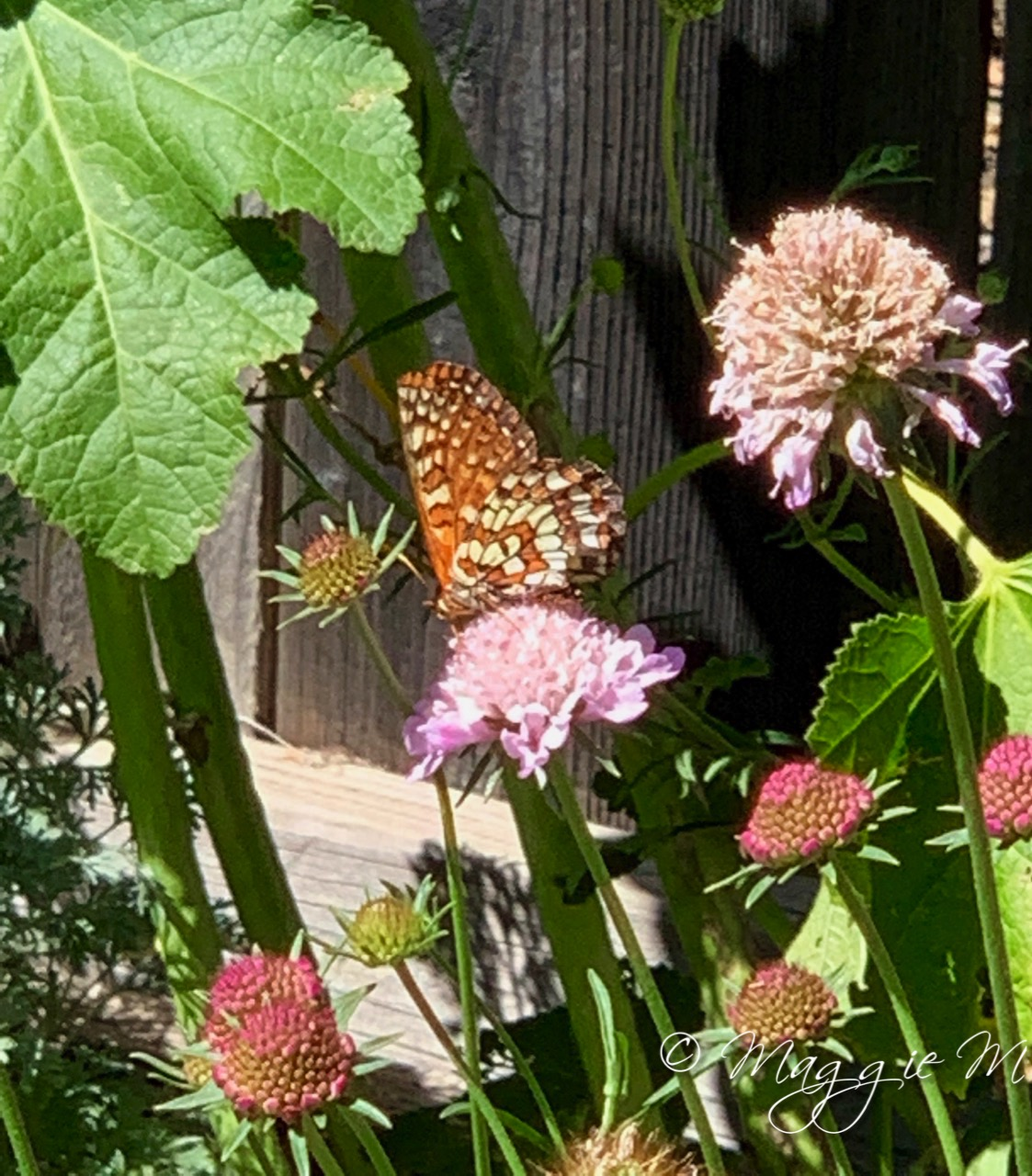 IMG Knautia butterfly1077